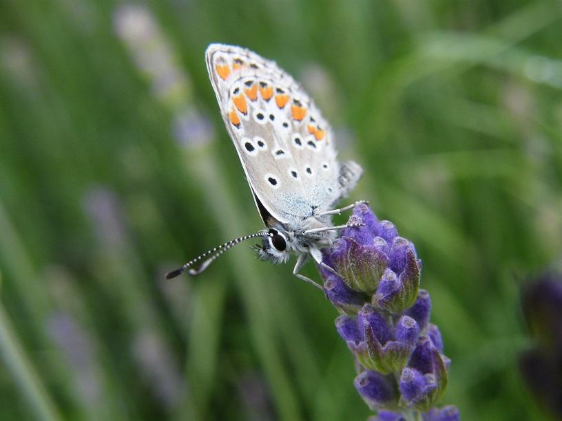 Un papillon sur un brin de lavande